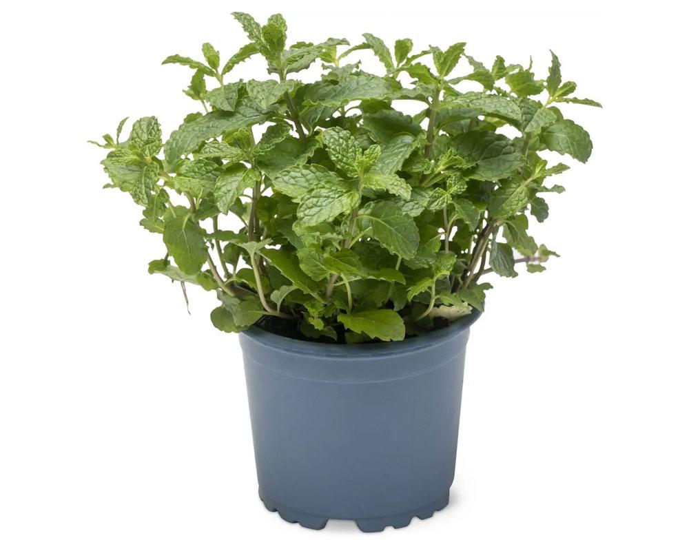 menta marocchina piantee aromatiche piante da orto piante e fiori i sapori del mio orto