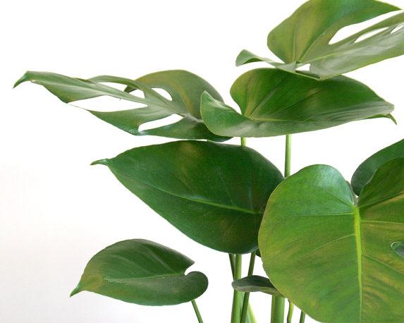 monstera deliciosa vaso 17 piante verdi da serra calda Oz Planten 2