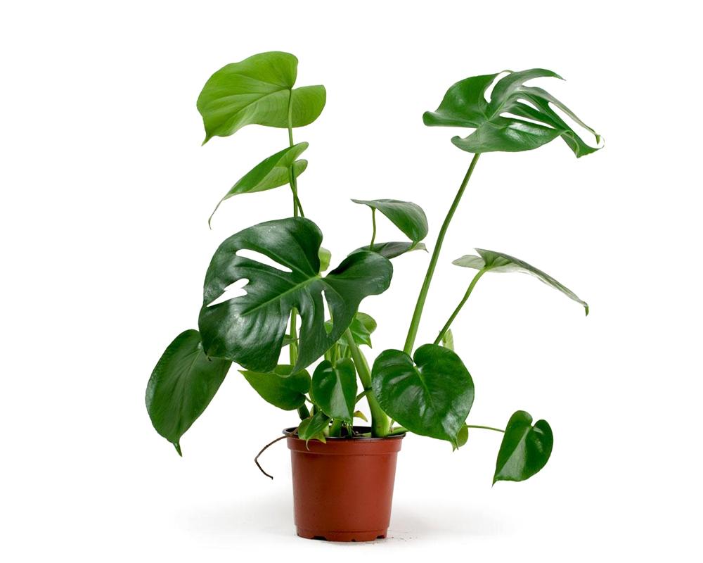 monstera deliciosa vaso 17 piante verdi da serra calda Oz Planten