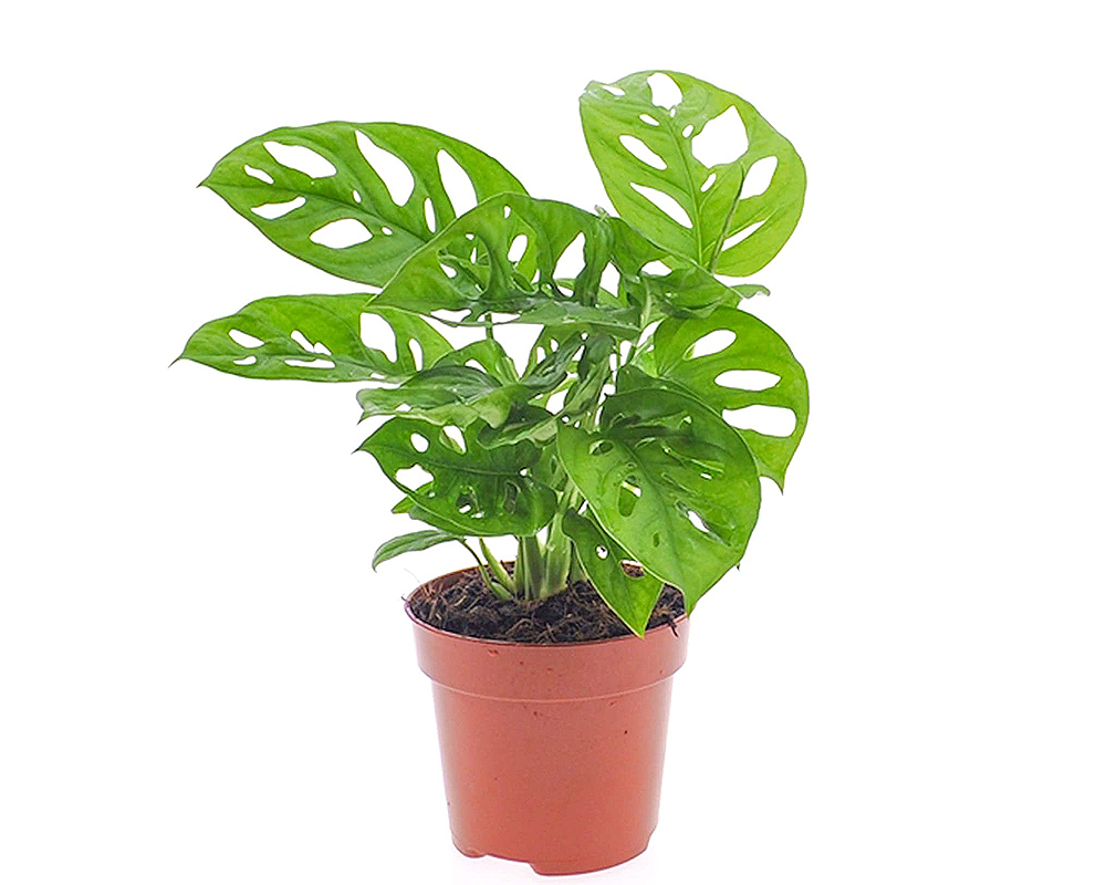 monstera obliqua vaso 14 piante verdi da serra calda Oz Planten