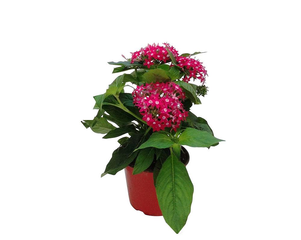 pentas vaso 12 piante e fiori piante verdi