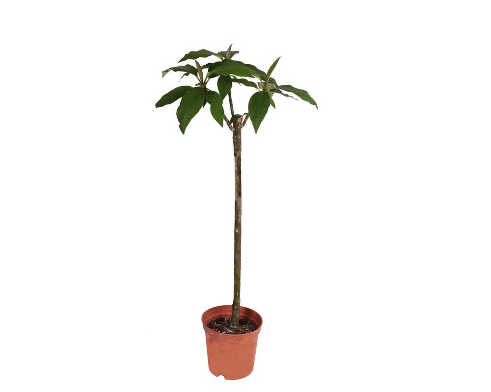 pomelia piante da esterno piante fiortie esotiche vaso 22