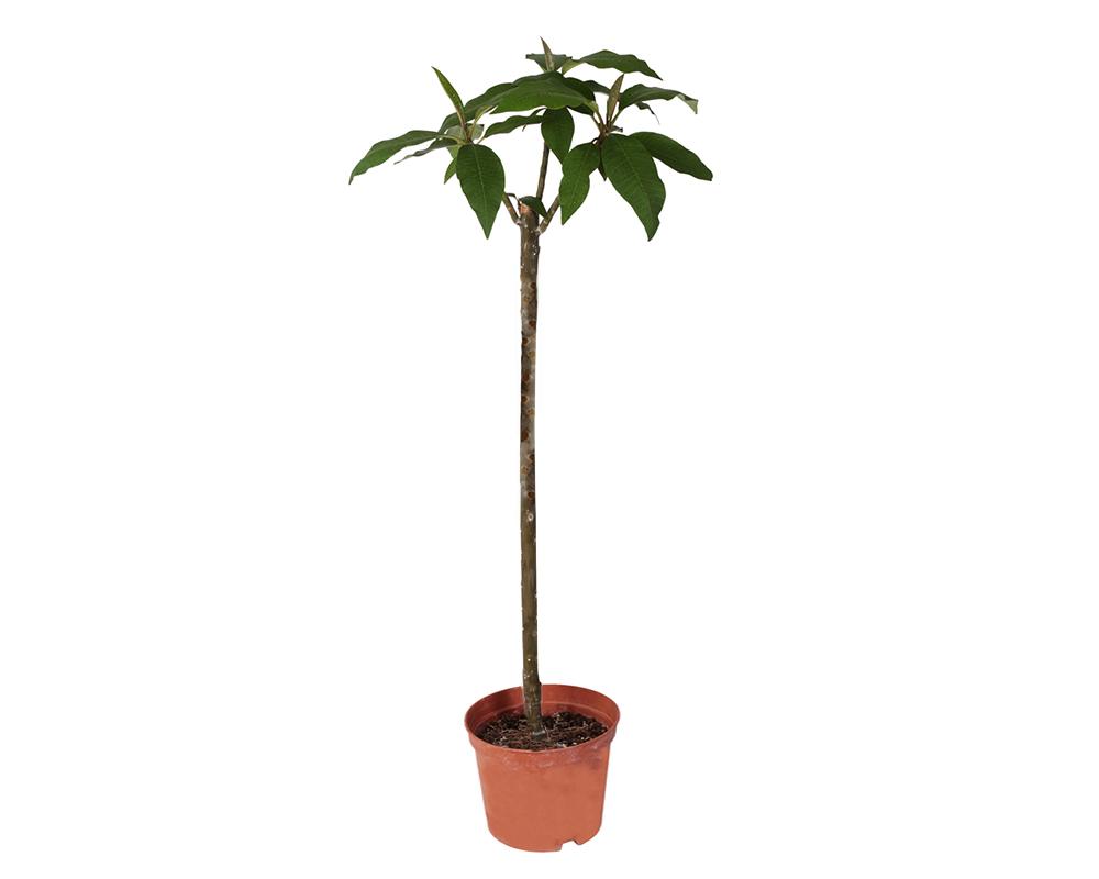 pomelia piante da esterno piante fiortie esotiche vaso 28