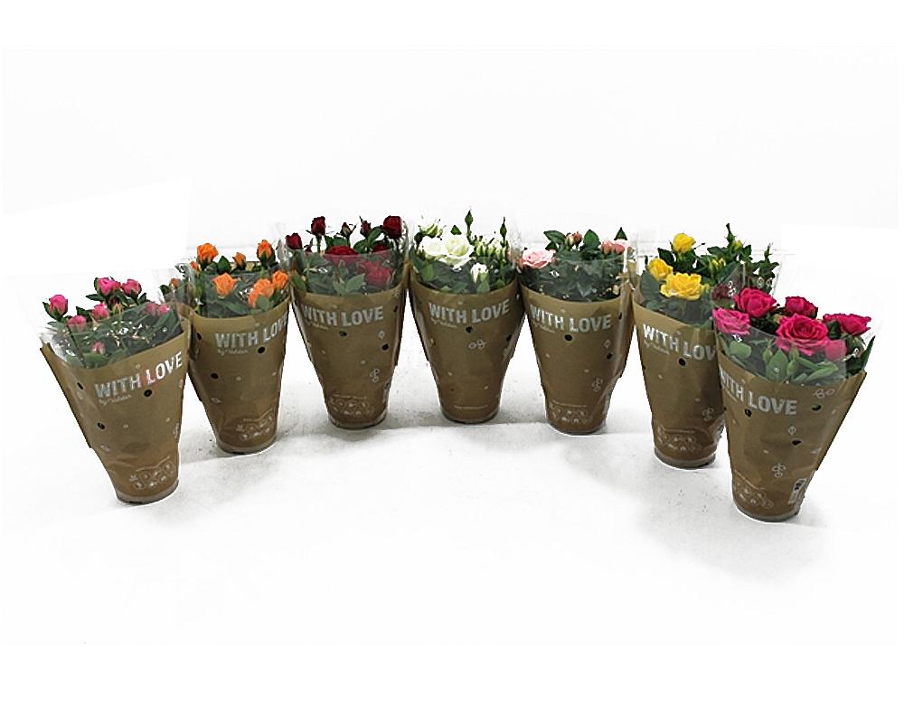 rosa lotz piante fioritye da vivaio oz planten