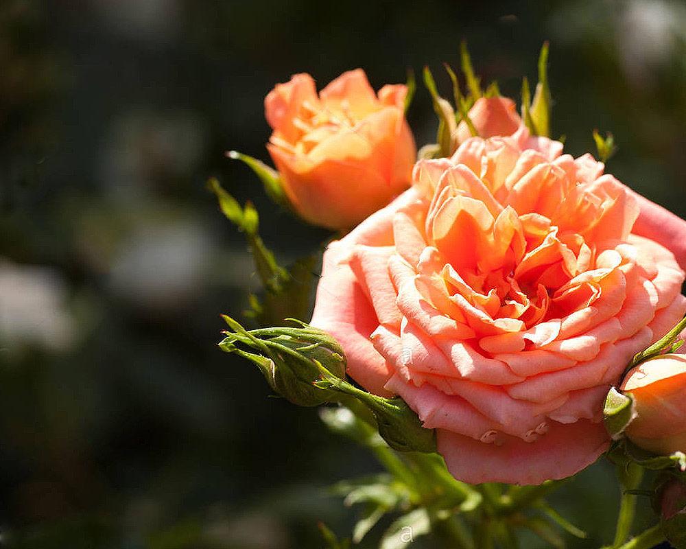 rose patio rosai oz panten fiorite vivaio piante e fiori.fiore