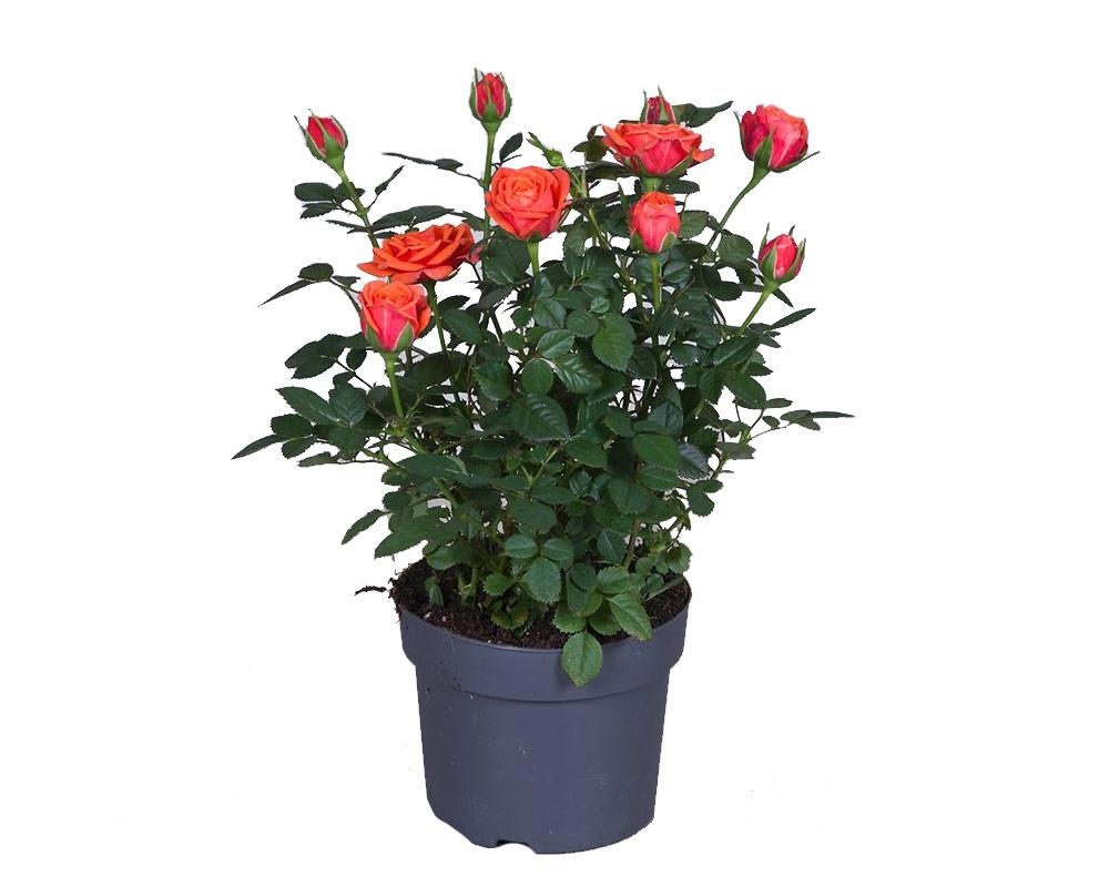 rose patio rosai oz panten fiorite vivaio piante e fiori