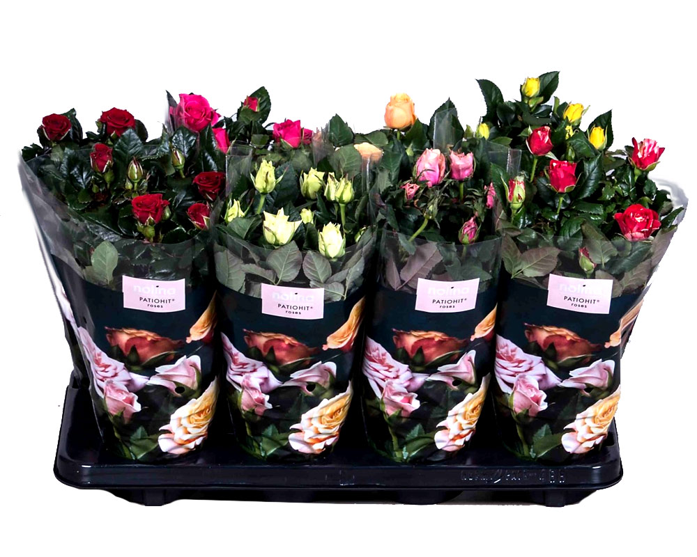 rose patio rosai oz panten fiorite vivaio piante e