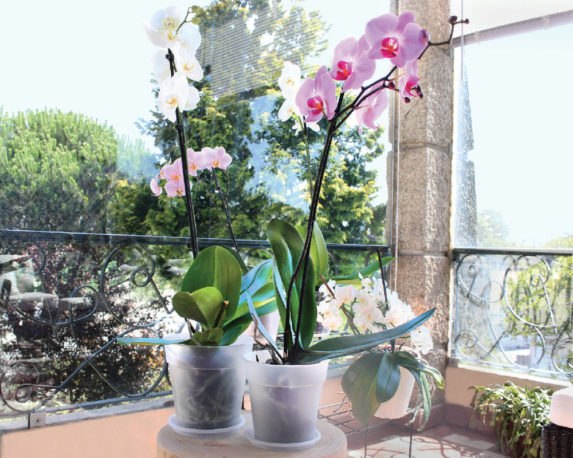 vaso tasparente per orchidea Madagascar vasi e coprivasi corino bruna