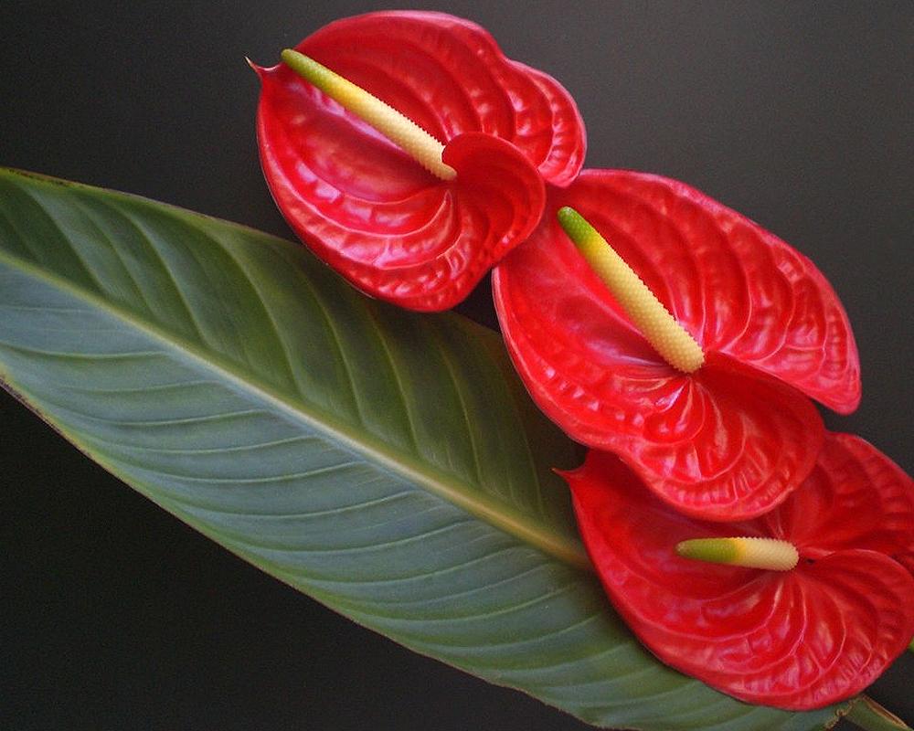 ANTHURIUM ANDREANUM vaso 24 piante fiorite piante da interno dettaglio fiore