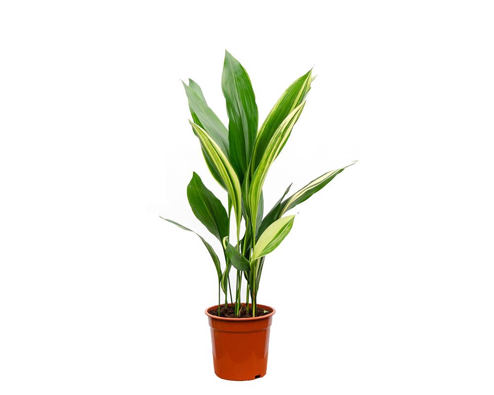 piante in bagno