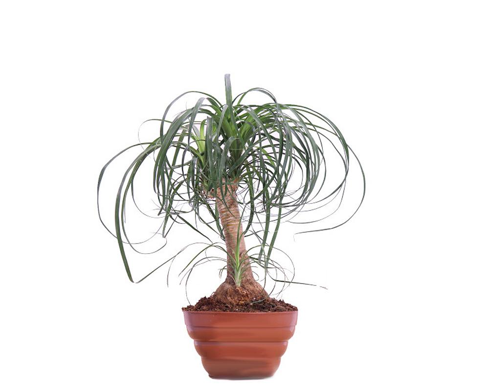 BEUCARNEA ciootola vaso 20 piante da interno