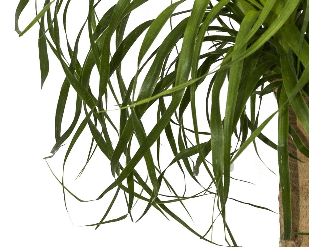 BEUCARNEA ciotola vaso 17 piante d aintenro piante da esterno dettaglio