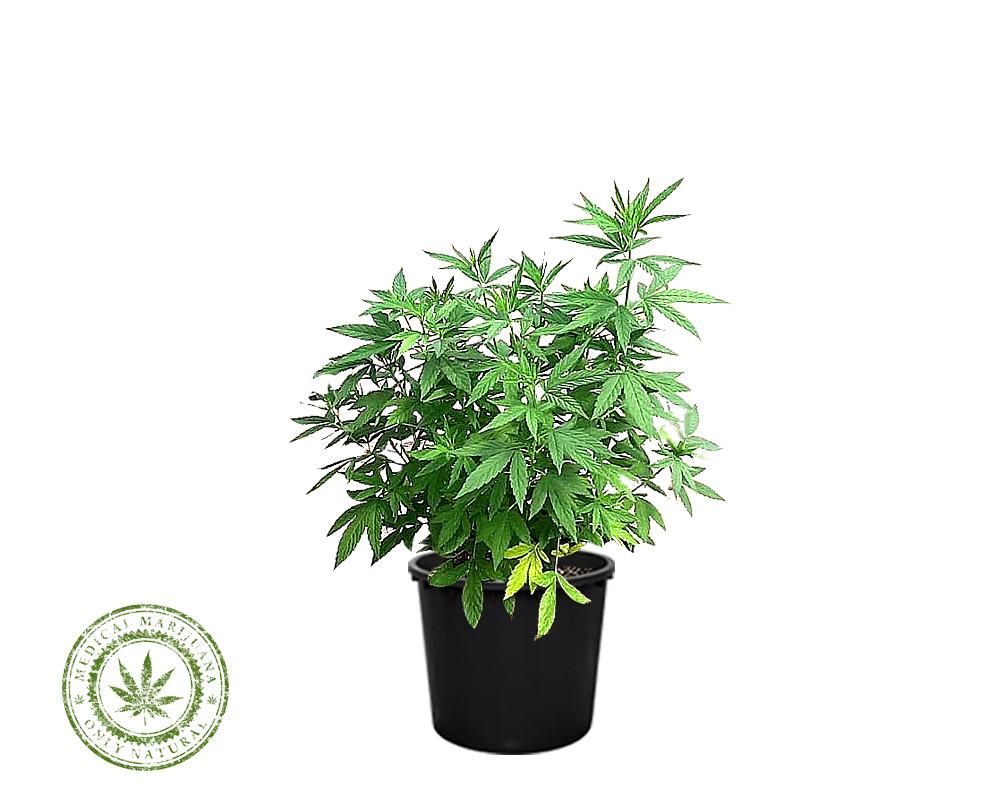 CANNABIS SATIVA KOMPOLTI vaso 24 piante verdi m 1