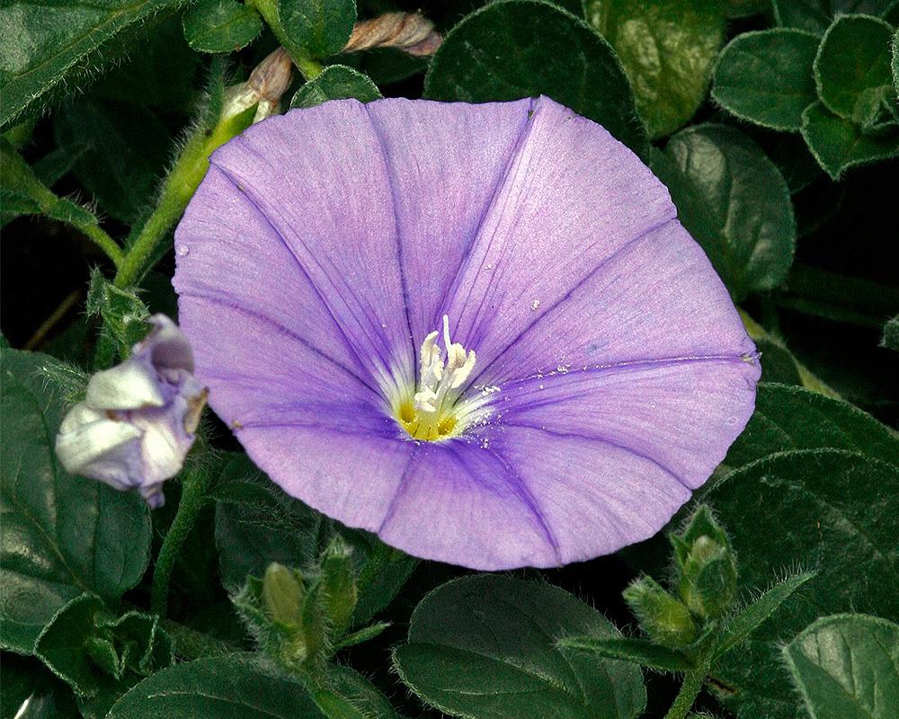 CONVOLVULUSCONVOLVO vaso 18 piante fiorite piante da esterno dettaglio