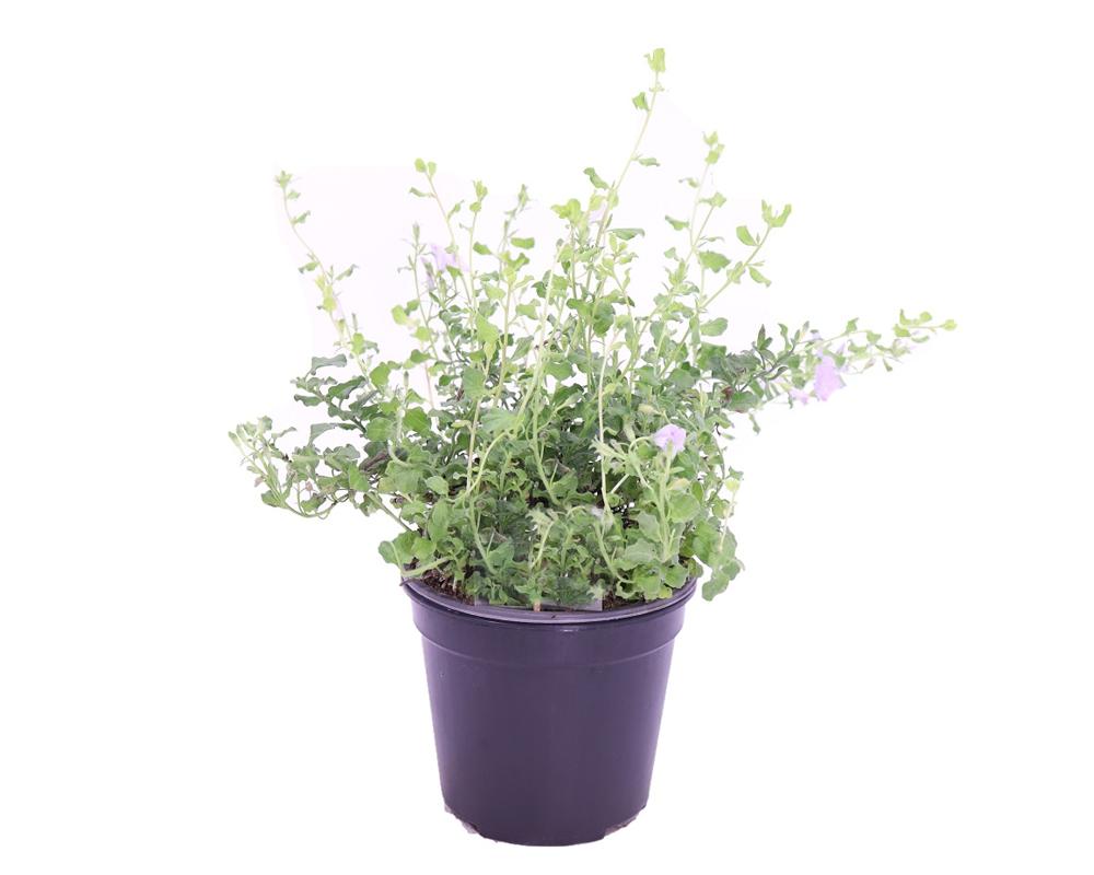 CONVOLVULUSCONVOLVO vaso 18 piante fiorite piante da esterno