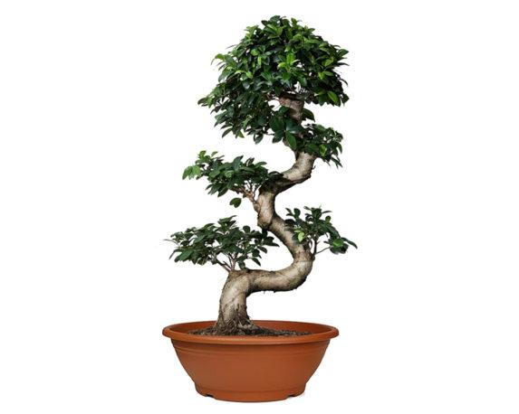 Ficus Ginseng Microcarpa S-shape
