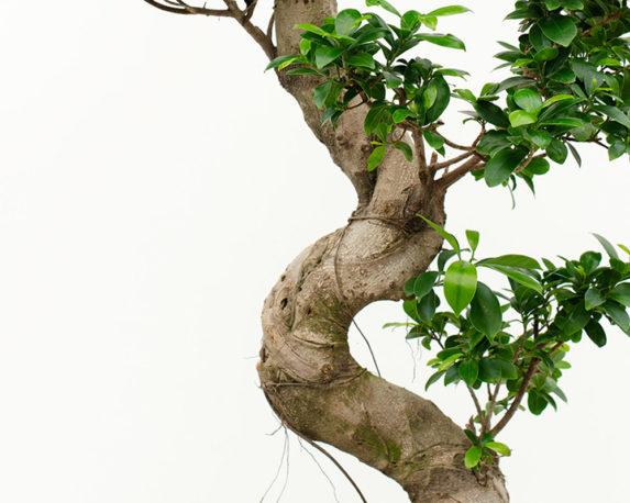 FICUS GINSENG MICROCARPA s shape vaso 35 piante verdi ficus dettaglio