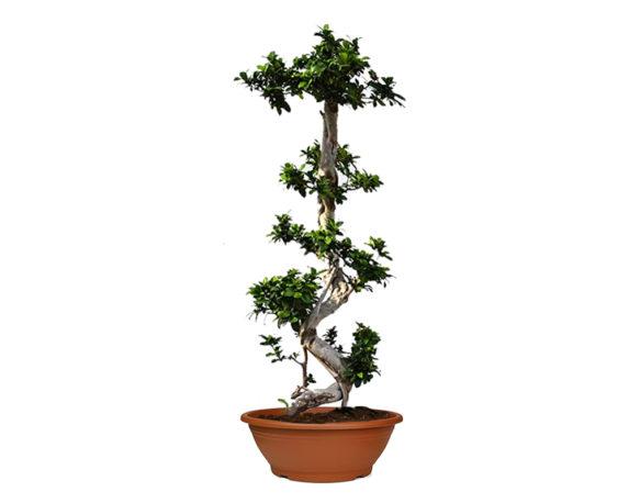 Ficus Ginseng Microcarpa Esemplare