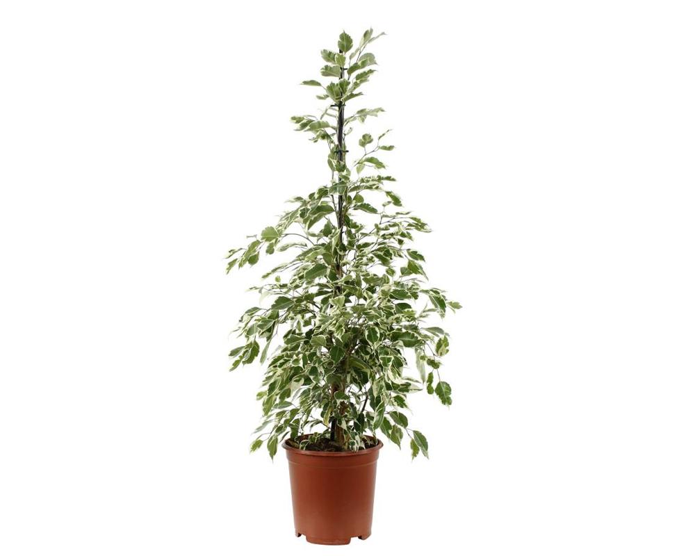 FICUS TWILIGHT H90 V19 piante da interno