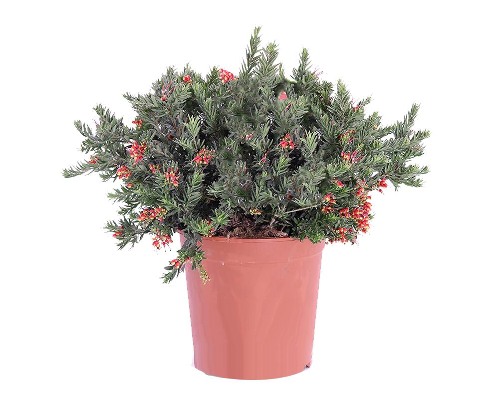 GREVILLEA NEW BLOOD vaso 18 piante fiorite piante da esterno