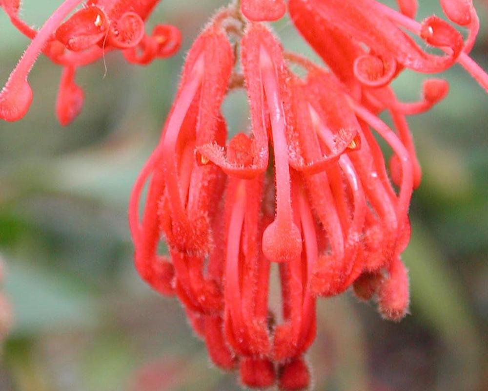 GREVILLEA RHYOLITICA vaso 18 piante fiorite piante da esterno fiore
