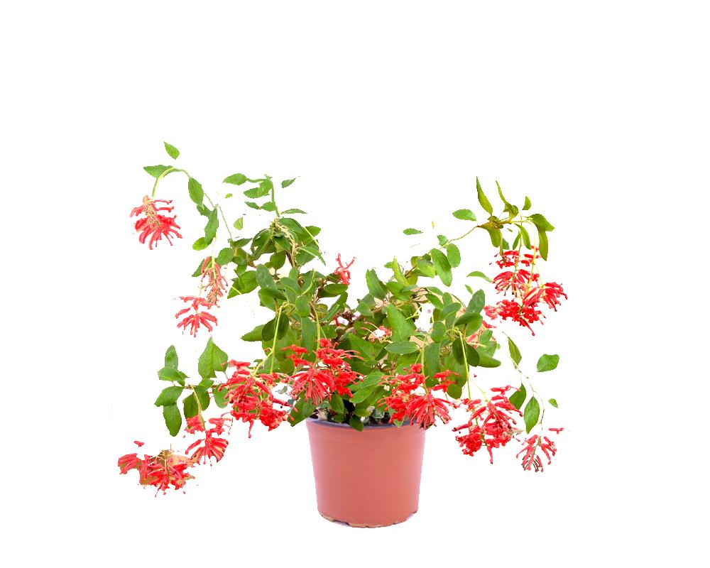GREVILLEA RHYOLITICA vaso 18 piante fiorite piante da esterno