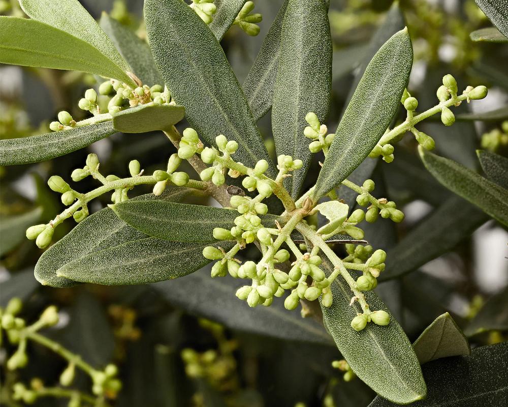 OLEA EUROPAEA vaso 22 piante da frutto alberi dettaglio