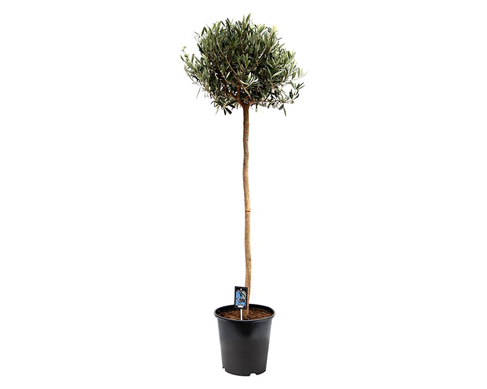 OLEA EUROPAEA vaso 22 piante da frutto alberi
