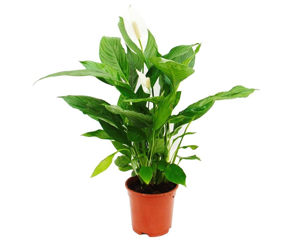 SPATHIPHILLIUM CUPIDO vaso 20 piante d ainterno fiorite