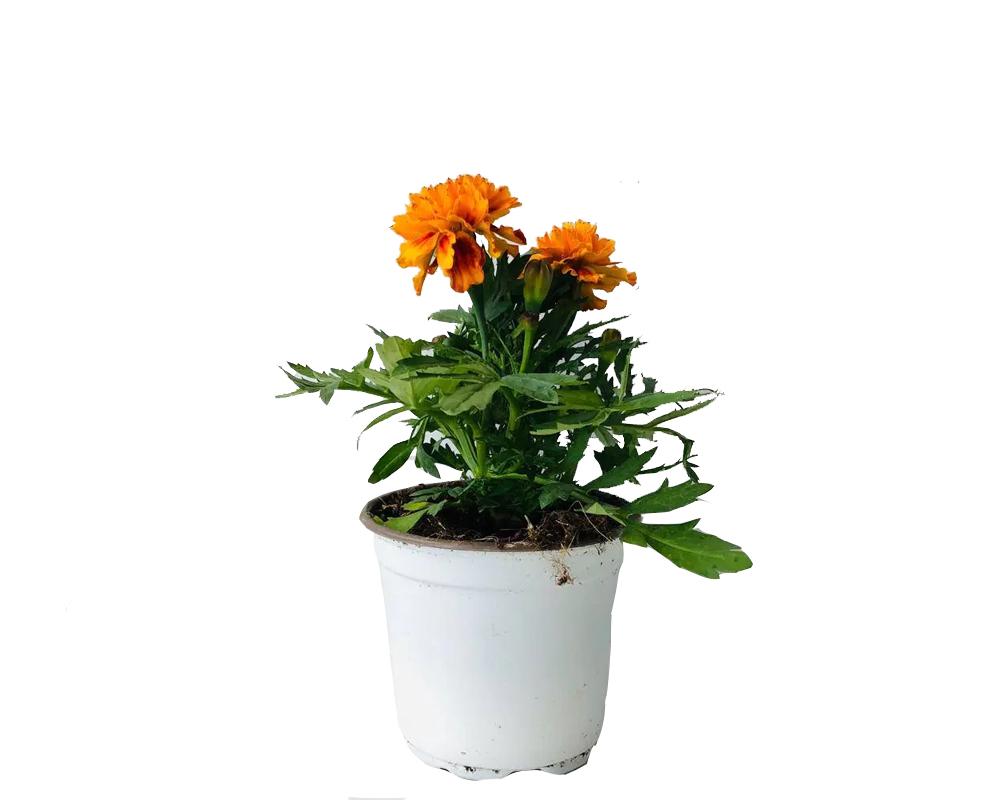 TAGETE A 2 PIANJTE vaso 4 piante fioritie piante da vivaio