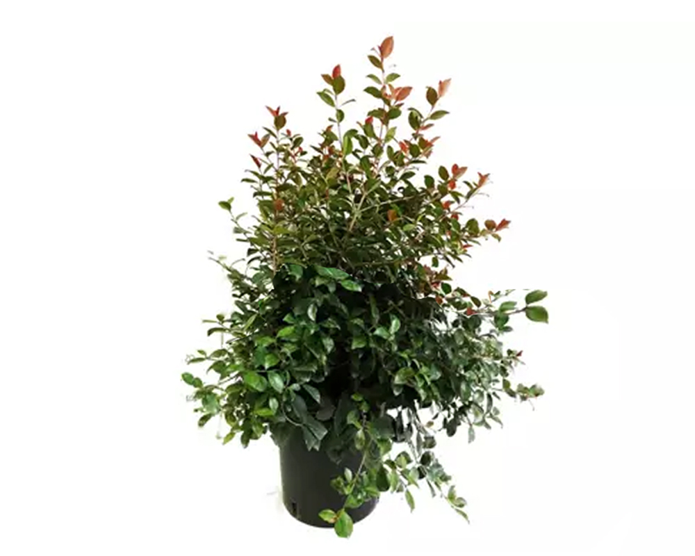 eugenia christina piante verdi vaso 19