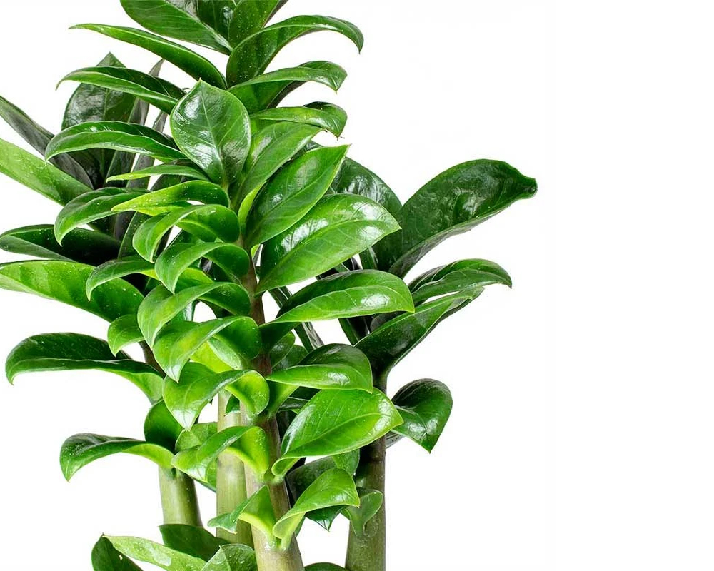 zamioculcas vaso 30 succulente foglie
