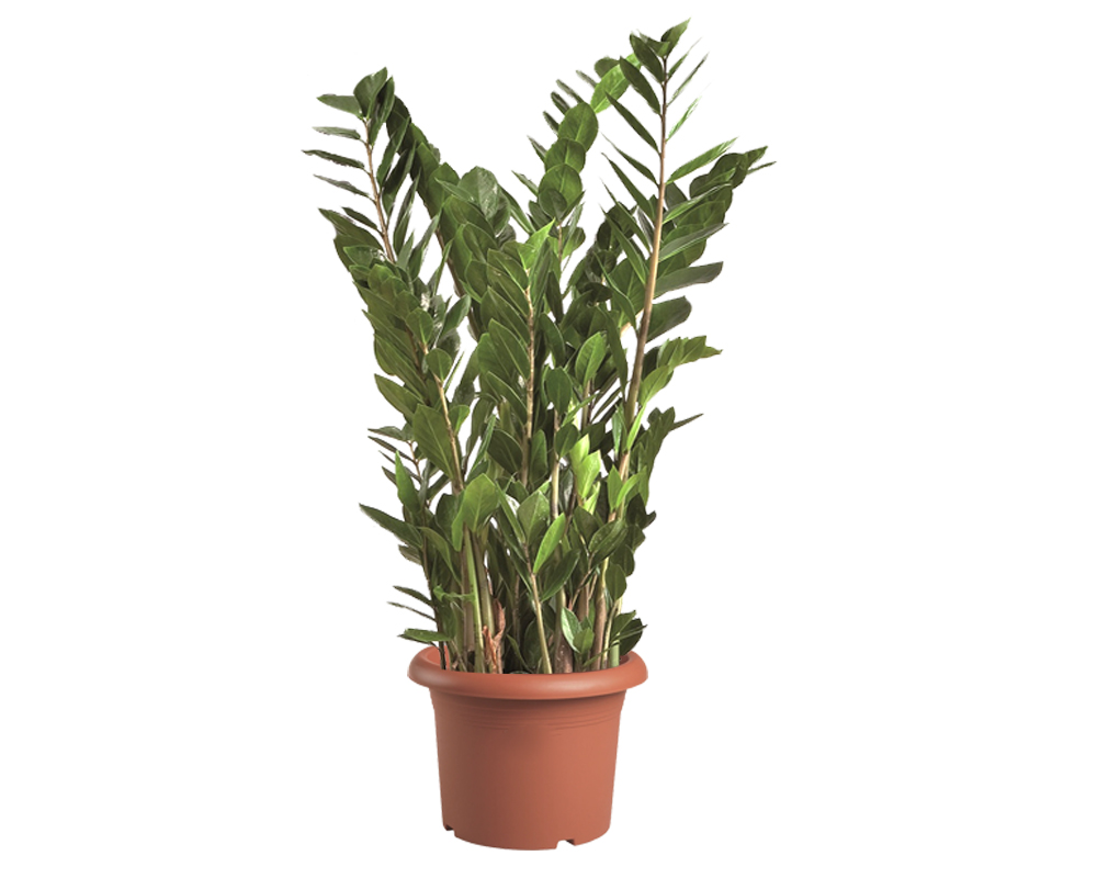 zamioculcas vaso 30 succulente
