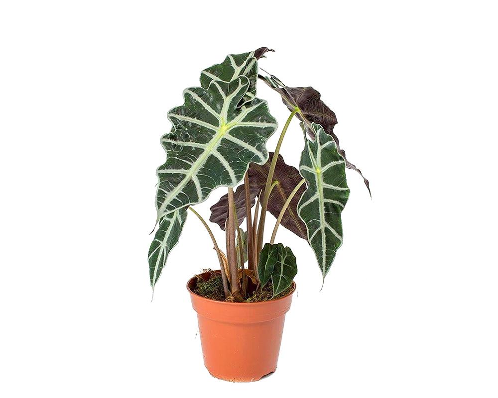 ALOCASIA POLLY V12 ALOCPOLV12 serra calda piante da interno 1
