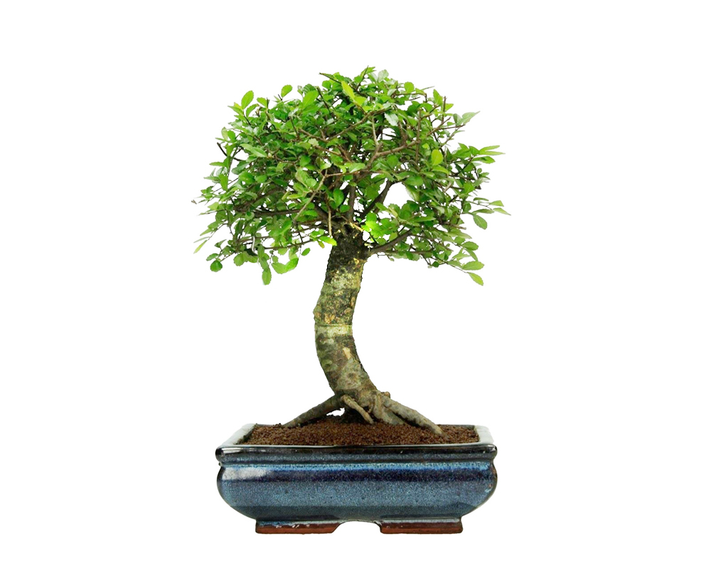 BONSAI ZELKOVA V15 BONSAI ZELKOVA15