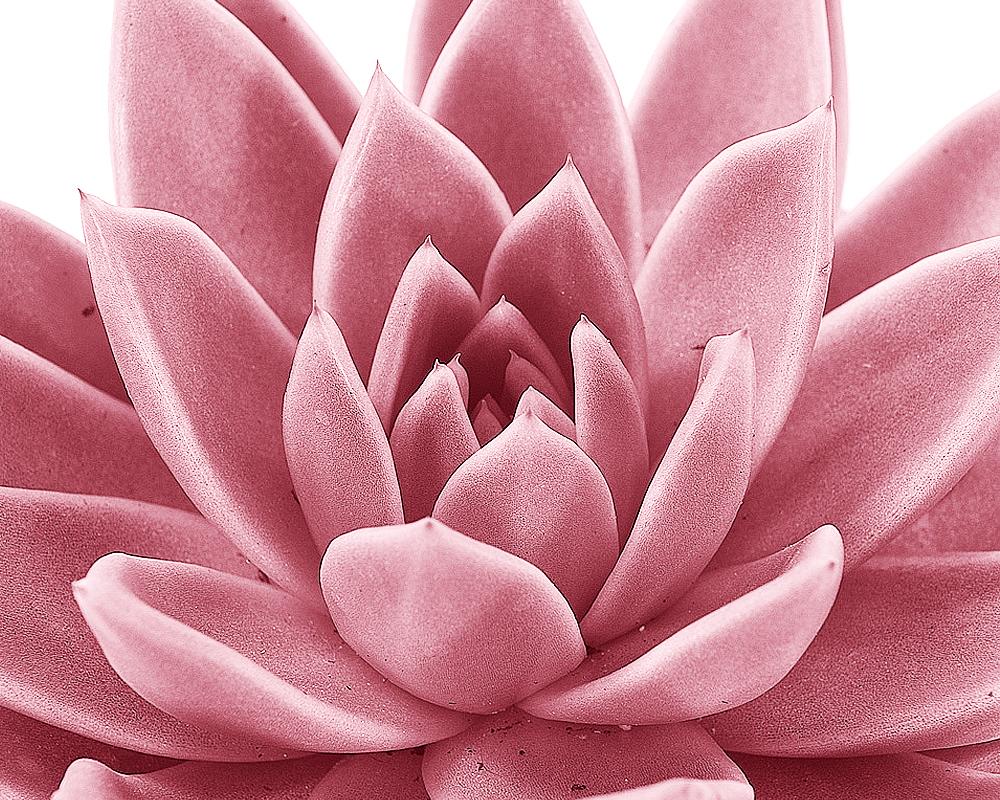 ECHEVERIA MIRANDA MIX V7 ECHMIRV6 pink dettaglio