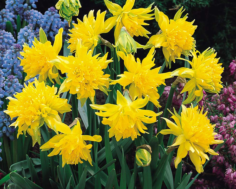 NARCISO BOT. RIP VAN WINKEL 10 12 sementi dotto jub fiori