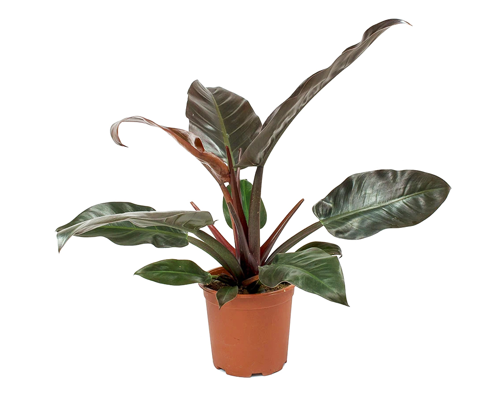 PHILODENDRON RED ART 4153