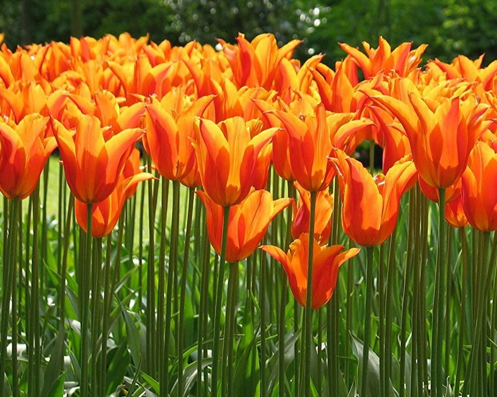 TULIPANO FIOR DI GIGLIO MIX CAL 11 12 semeneti dotto jub fiori