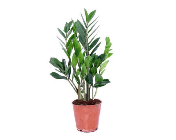 Zamioculcas Zamiifolia H35
