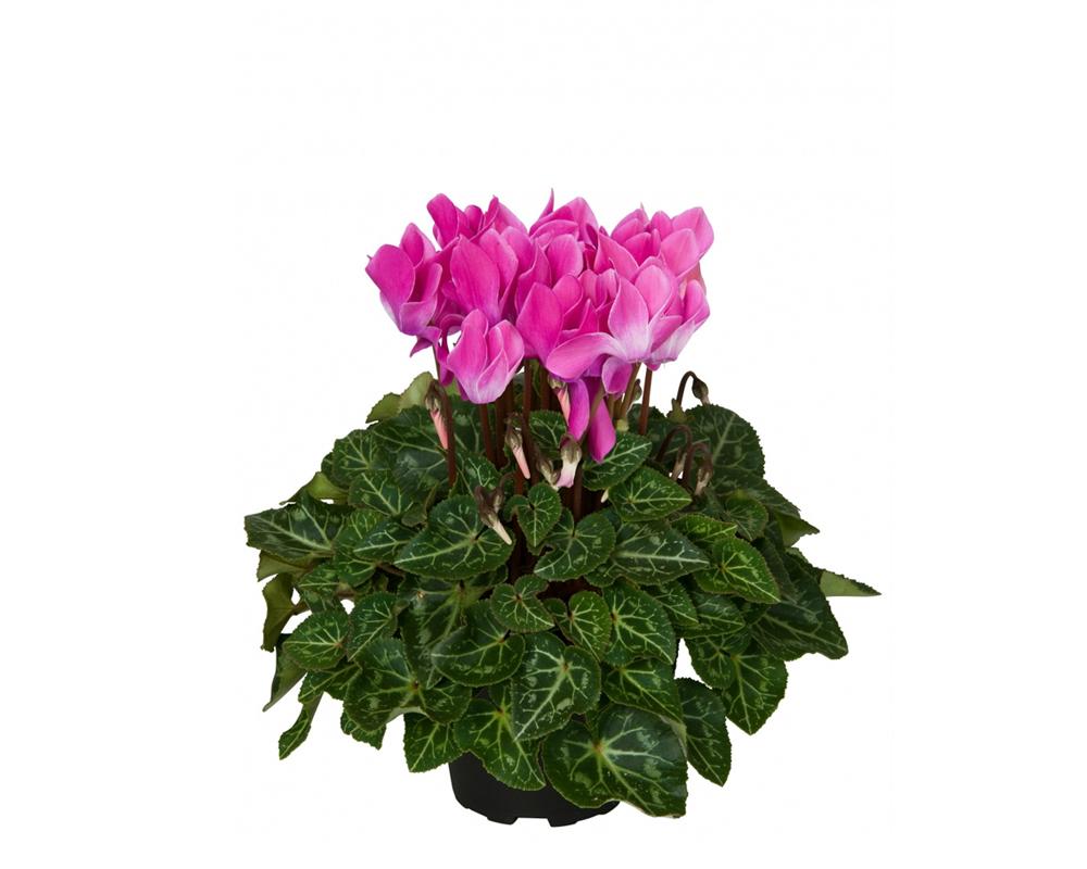 ciclamino piante fiorite piante da vivaio vaso 14 1