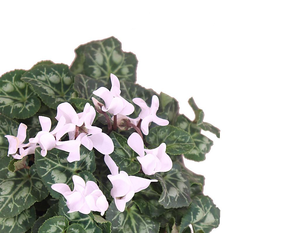 ciclamino piante fiorite piante da vivaio vaso 14 3