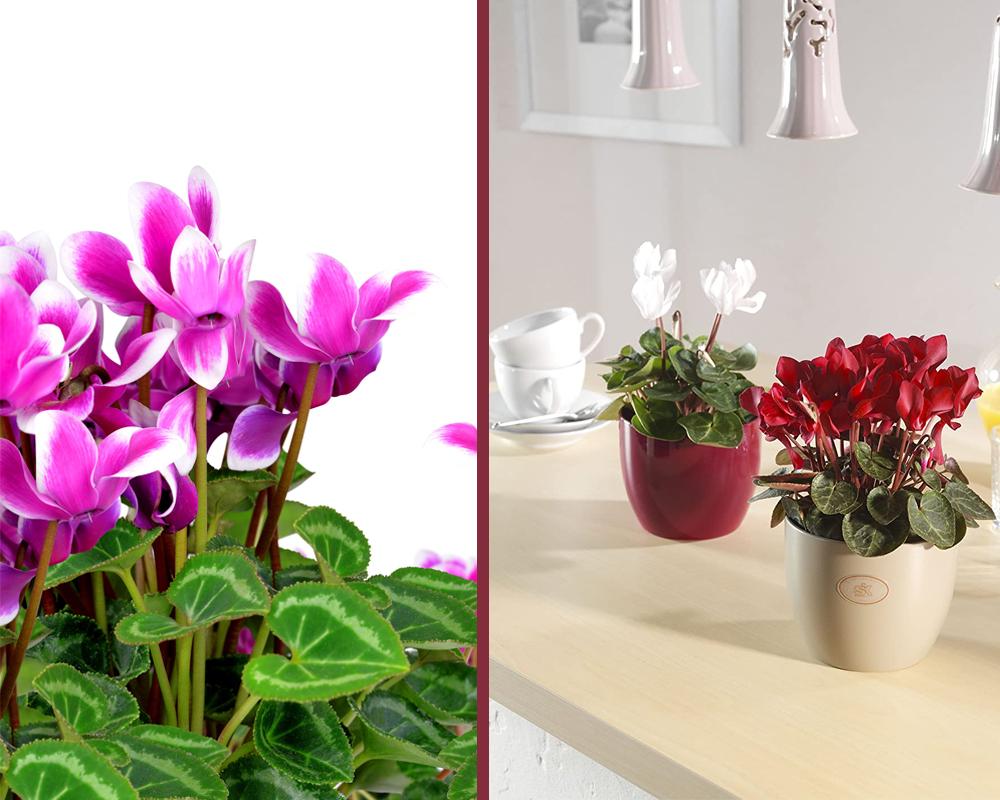 ciclamino piante fiorite piante da vivaio vaso 14 4