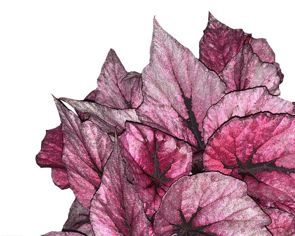 BEGONIA INDIAN SUMMER V12 H22 24728 foglie