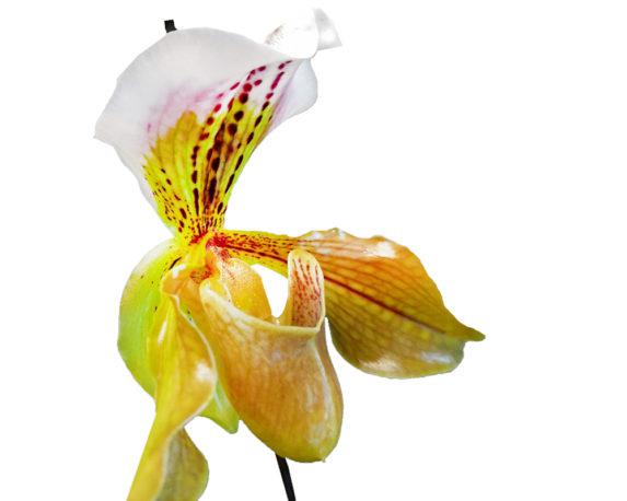 PAPHIOPEDILUM OVERING V12 H40 9426 fiore