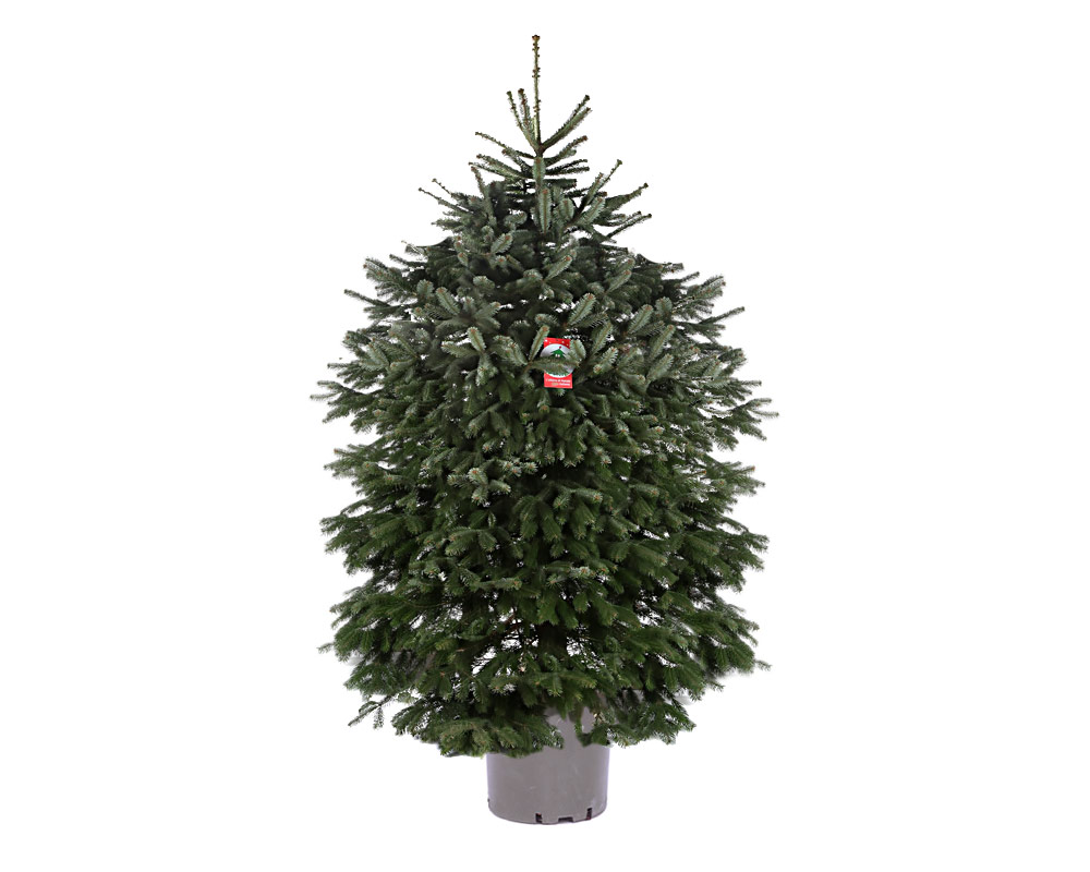 ABETE ABIES NORMANDIANO H230 250 V40 ANH230 250V40.jpg