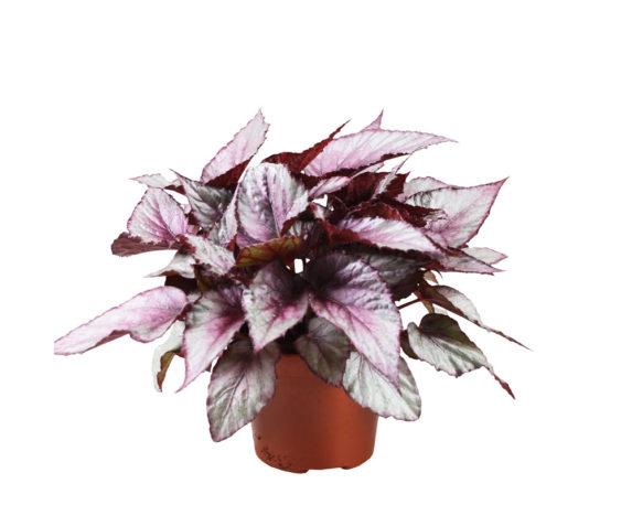 Begonia Beleaf Mix H27