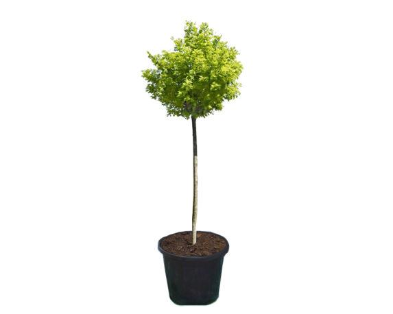 """Robinia Pseudoacacia """"umbraculifera"""" H250"""