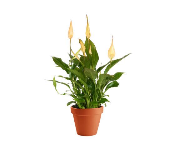 Spathiphyllum Chopin Yellow H30