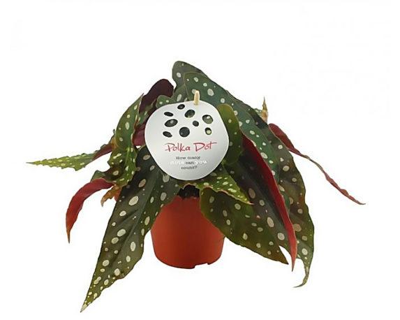 Begonia Maculata H20